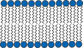 Lipid Bilayer Diagram