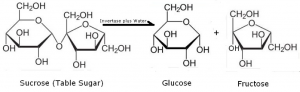 Decomposition of sucrose into glucose and fructose